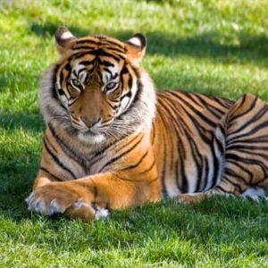 aggresive looking tiger laying on grass